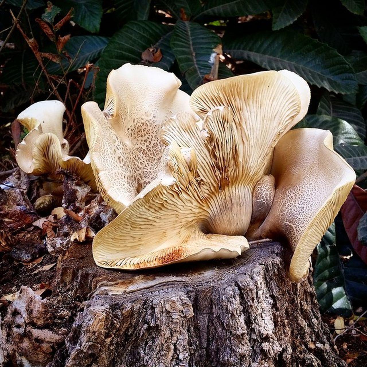 Хреби Mushrooms Mushroom Shroomin' Fangus