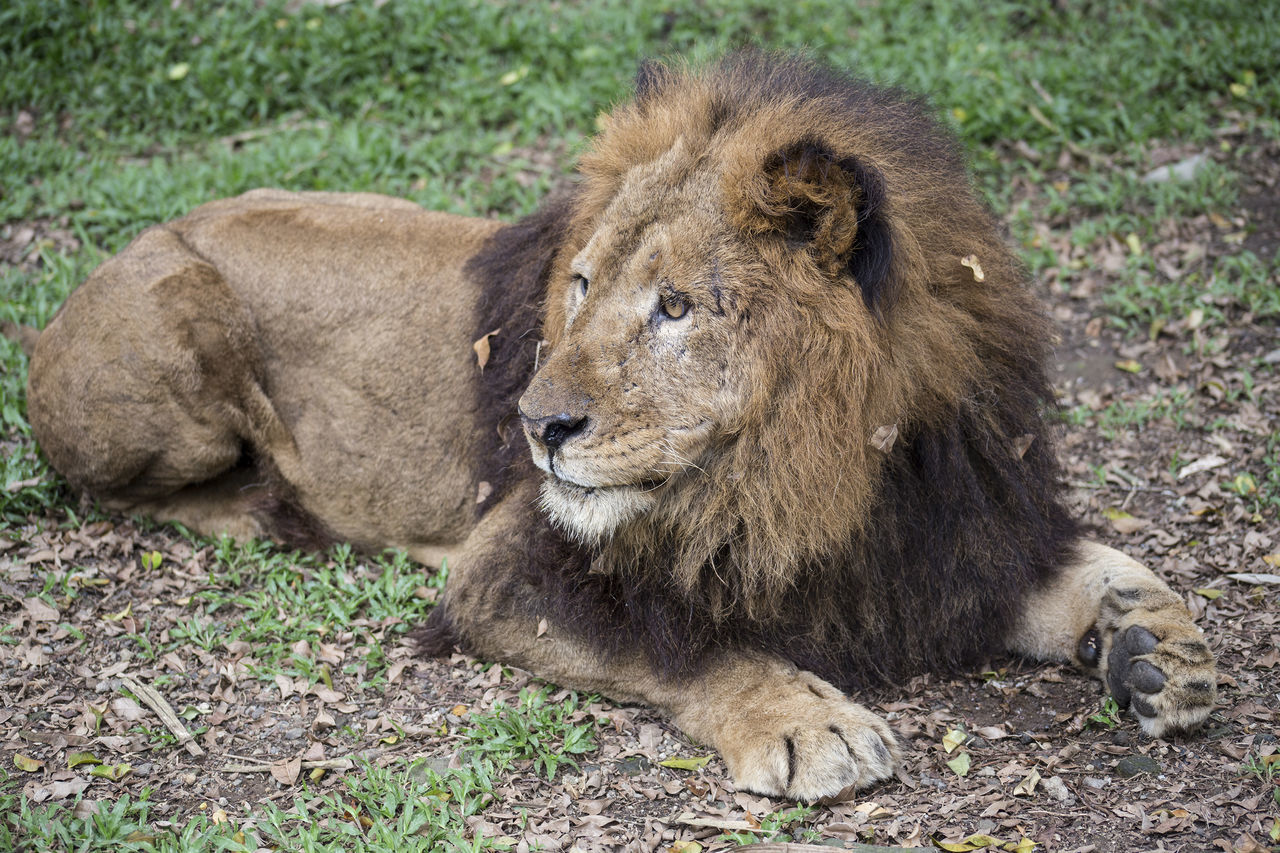 Animal Themes Animals In The Wild Day Grass Lion - Feline Mammal Nature No People One Animal Outdoors Relaxation