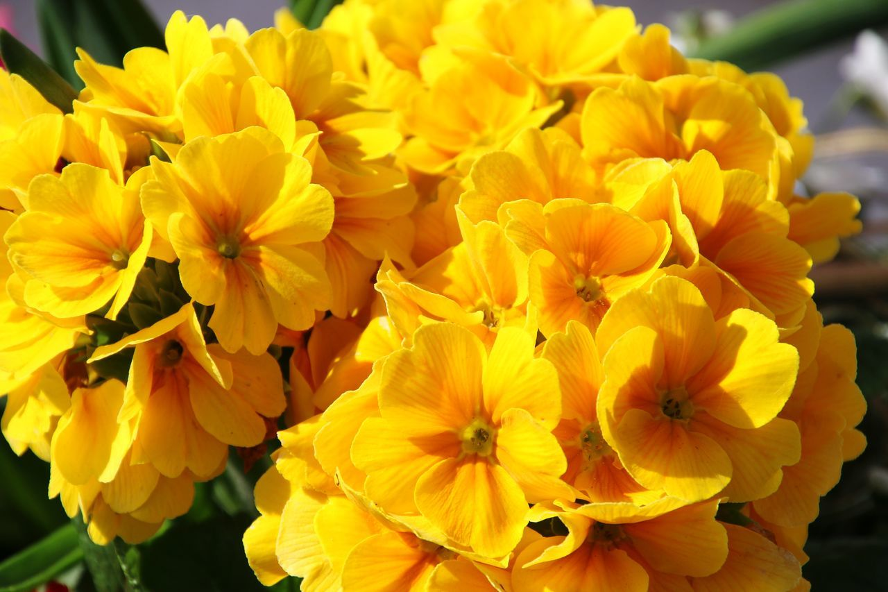 Flower Yellow Fragility Beauty In Nature Nature Flower Head Petal Freshness Growth Outdoors Close-up No People Plant Blooming Day