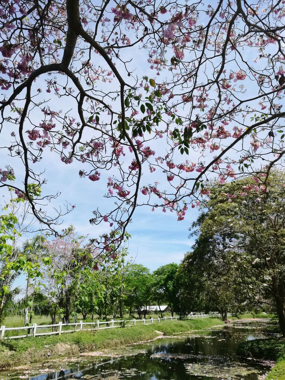 Tree Nature Growth Sky Outdoors Branch No People Beauty In Nature Day Branches And Blossom Spring Flowers Pink Tree Blossom Branches Of Trees Pink Color Stream Stream And Trees Brook And Trees Creek And Trees Tabebuia Pink Trumpet Pink Trumpet Tree Tabebuia Rosea Nature Green Color Blossom