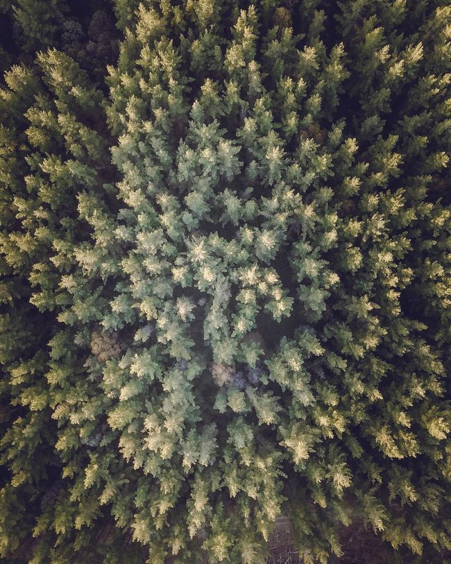 Forrest Dronephotography Drone  DJI Mavic Pro Dji Nature Tree Full Frame Backgrounds Growth No People Forest Pine Tree Beauty In Nature Outdoors Tranquility Day