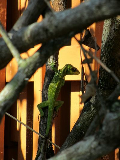 Green Iguana Hiding In Plain Sight Lizards Iguana Iguanas Lizard Hidden In Plain Sight Florida Wildlife Among The Branches Among The Trees
