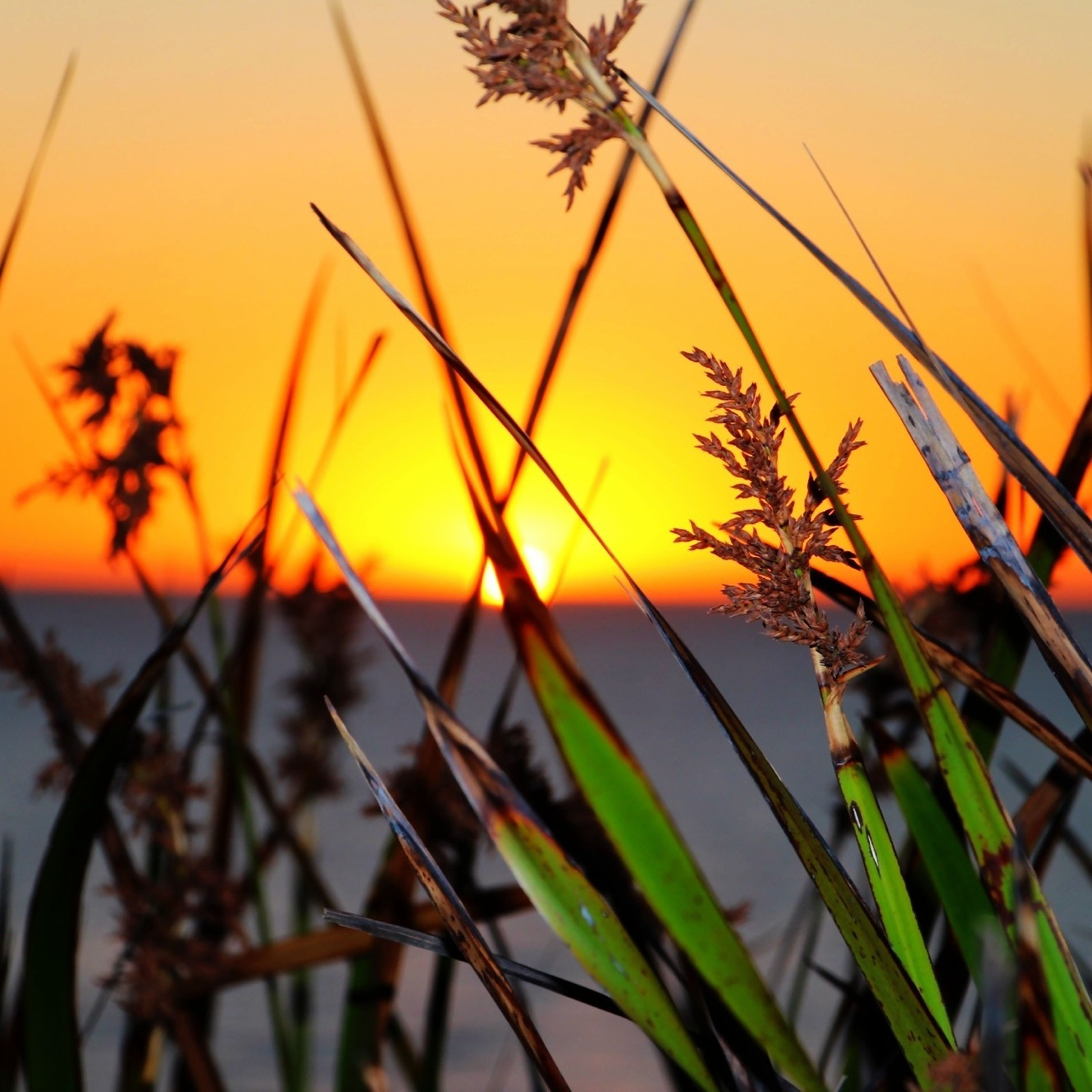 sunset, orange color, plant, nature, growth, focus on foreground, beauty in nature, tranquility, close-up, scenics, sky, stem, yellow, tranquil scene, outdoors, field, no people, idyllic, branch, horizon over water