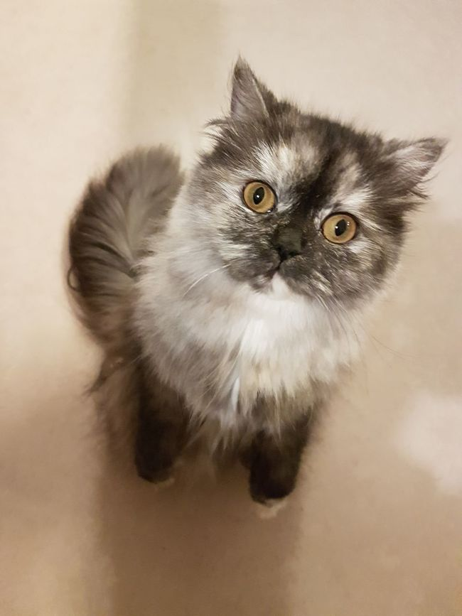 Domestic Cat Pets Animal Themes Feline Domestic Animals Looking At Camera Whisker Persian Cat  Portrait Indoors  Mammal No People Close-up Day