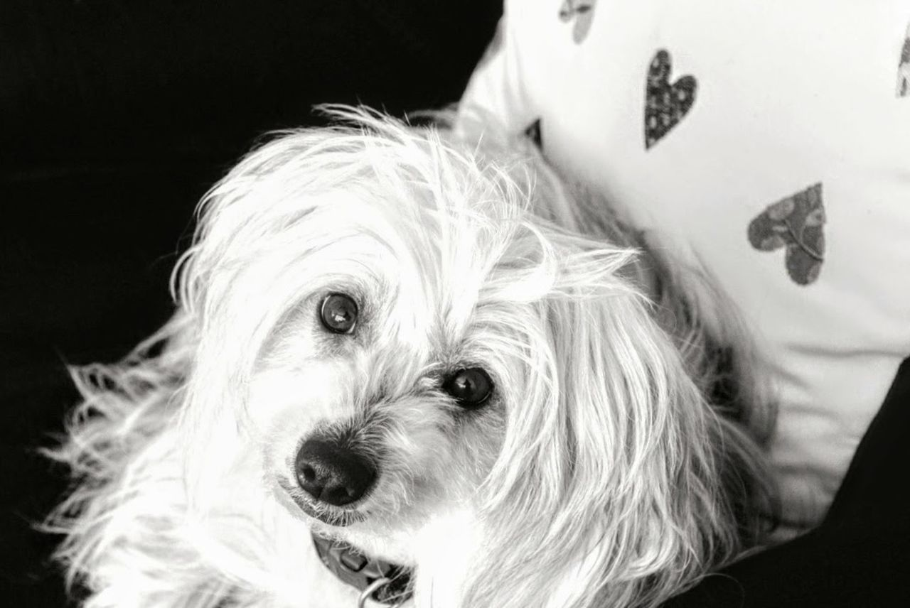 Dog Looking At Camera Pippin Chinese Crested Powder Puff Portrait One Animal Black Background Cornwall, UK. My Dog Is Cute. Blackandwhitephoto