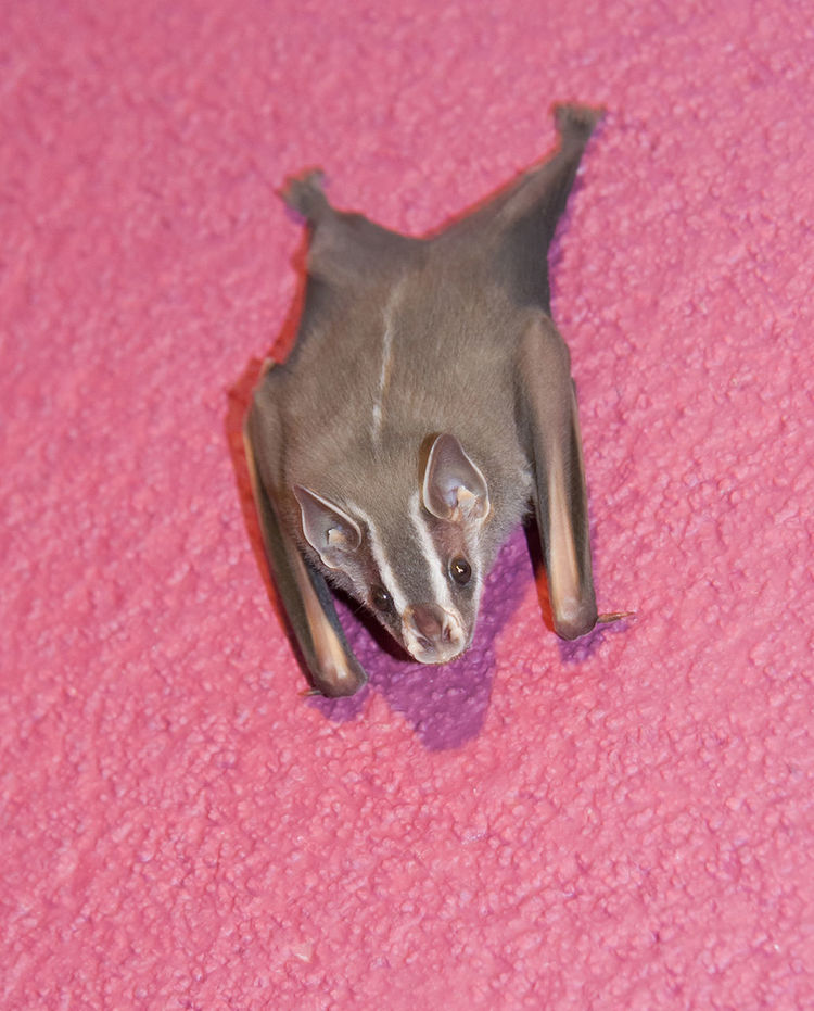 White-lined bat on pink wall - Saccopteryx bilineata in La Fortuna, Alajuela province, Costa Rica Animals In The Wild Bat Costa Rica Hanging Latin America Looking At Camera Saccopteryx Bilineata White-lined Bat Animal Themes Animal Wildlife Bats Close-up Curiosity Echolocation Full Length Greater Sac-winged Bat Mammal No People One Animal Perching Pink Color Spooky Upside Down Vampire Wildlife