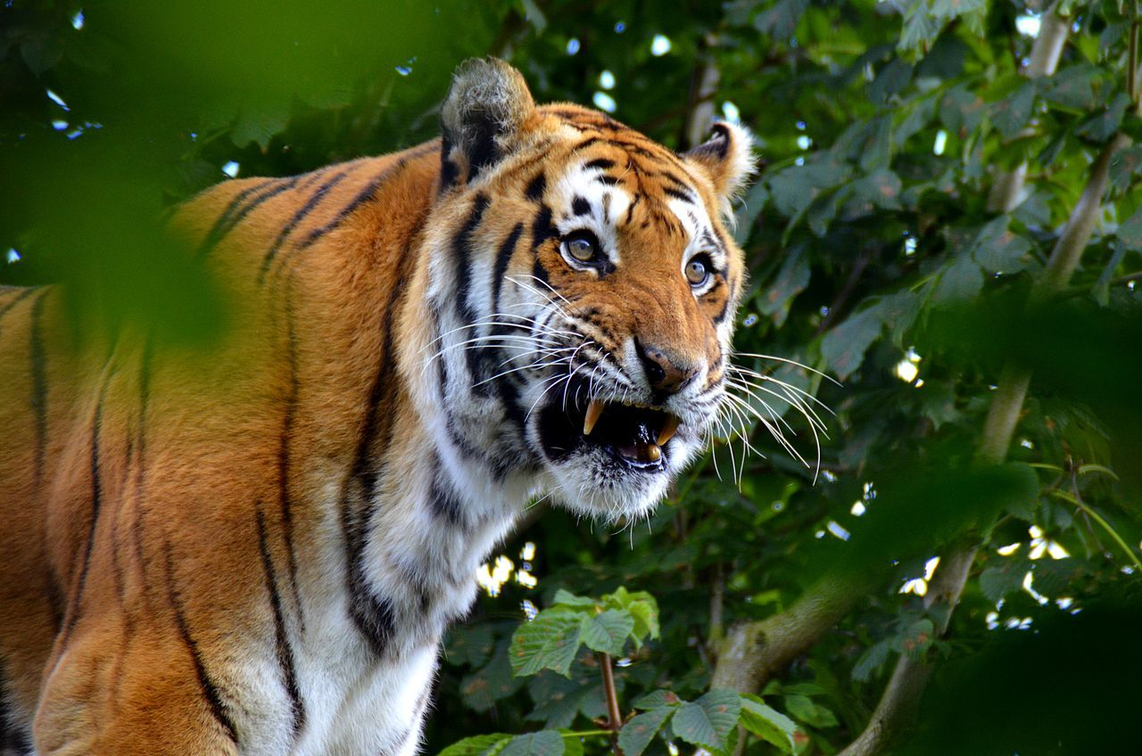 Beautiful stock photos of tiger, Animal Markings, Animal Teeth, Animal Themes, Animal Wildlife