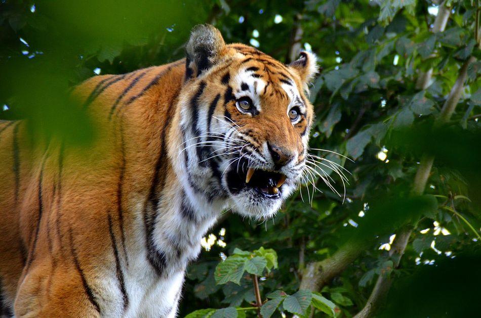 Beautiful stock photos of tiger, Animal Markings, Animal Teeth, Animal Themes, Animal Wildlife