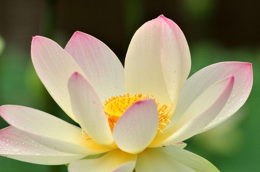 Oksk Photopackers Lotus Water Lily Flower Myanmar