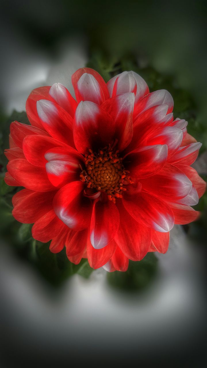 flower, petal, beauty in nature, red, nature, flower head, fragility, growth, pollen, close-up, plant, freshness, no people, blooming, outdoors, day, zinnia