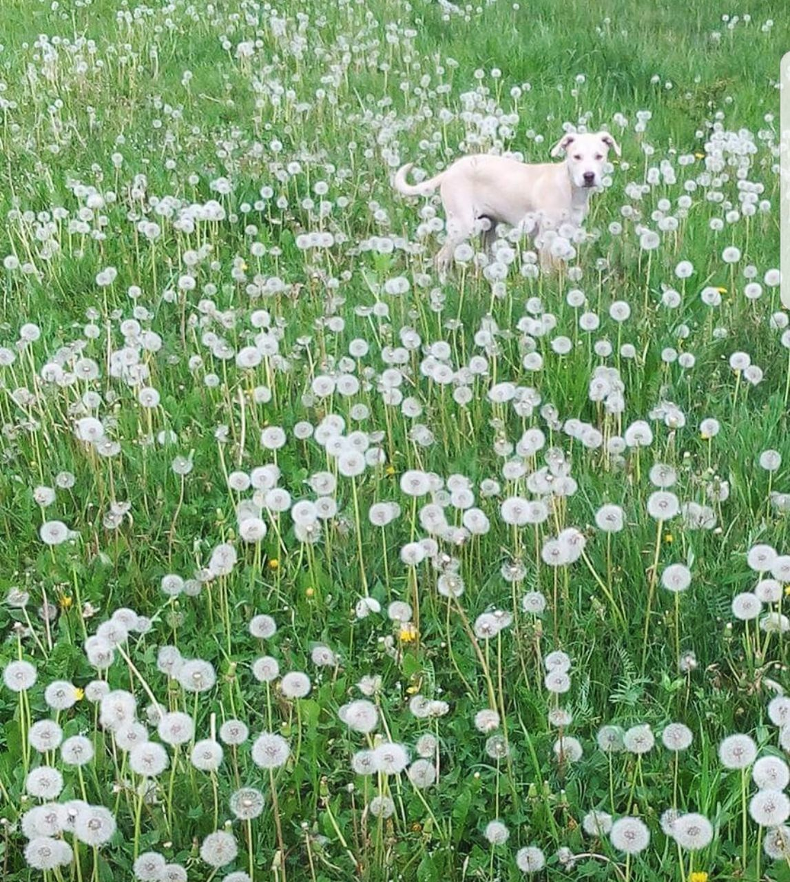 flower, dog, domestic animals, grass, pets, nature, growth, field, animal themes, one animal, plant, mammal, no people, outdoors, green color, day, beauty in nature, fragility, blooming, freshness, flower head