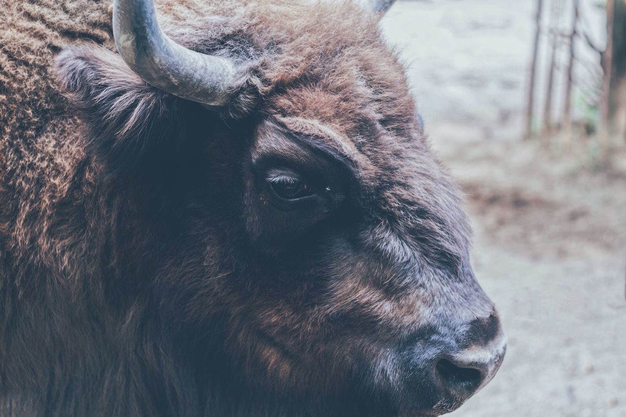 Animal Themes One Animal Mammal Domestic Animals No People Nature Livestock Animals In The Wild Close-up Day Outdoors American Bison Highland Cattle Bison Buffalo