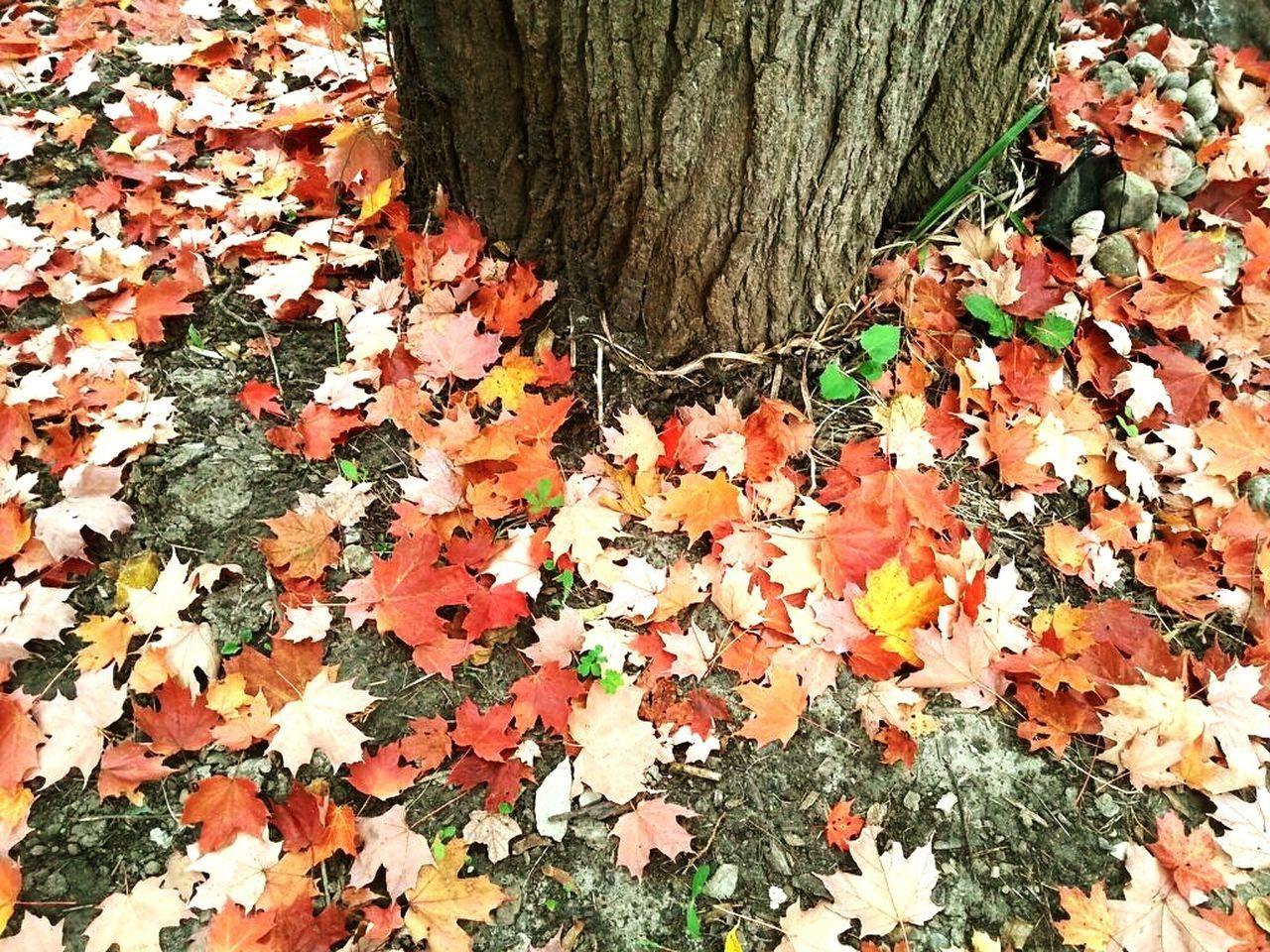 Leaf Leaves Maple Leaf Outdoors Maple