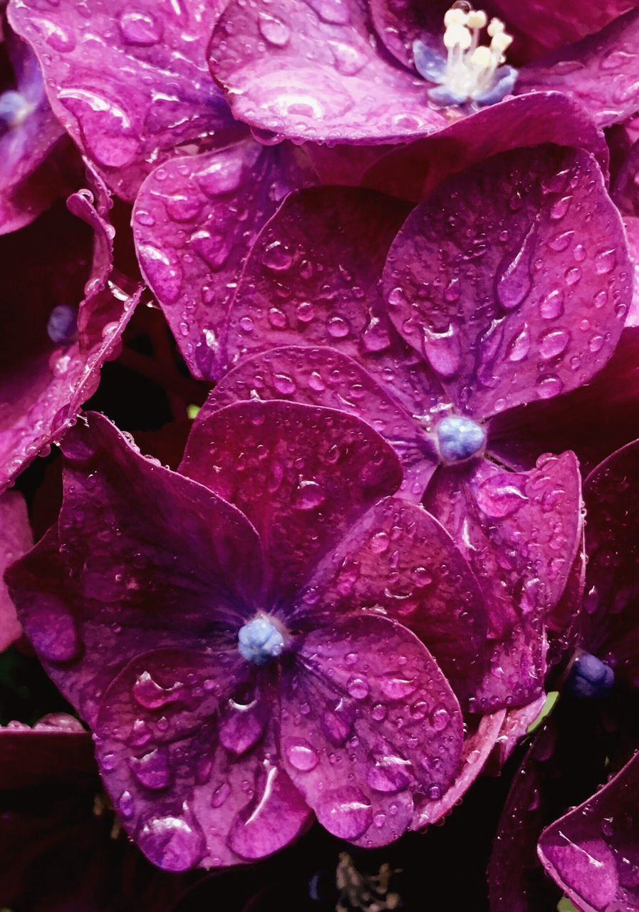 drop, petal, flower, growth, wet, beauty in nature, nature, flower head, freshness, fragility, plant, raindrop, water, no people, close-up, day, backgrounds, purple, outdoors, full frame, purity, blooming