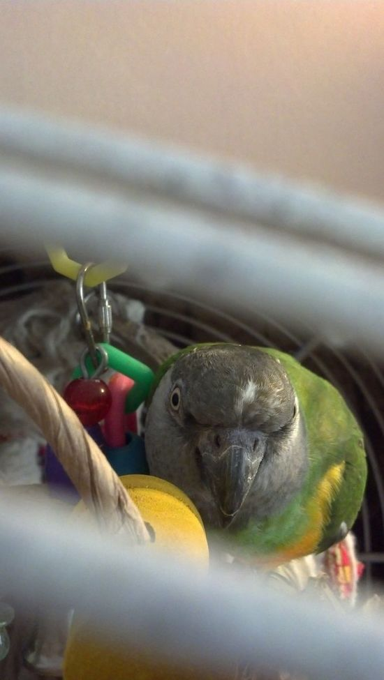 This is Teeky a Senegalparrot that i Love ♥ veryyyyyy much Www.parrotnutrition.com Says