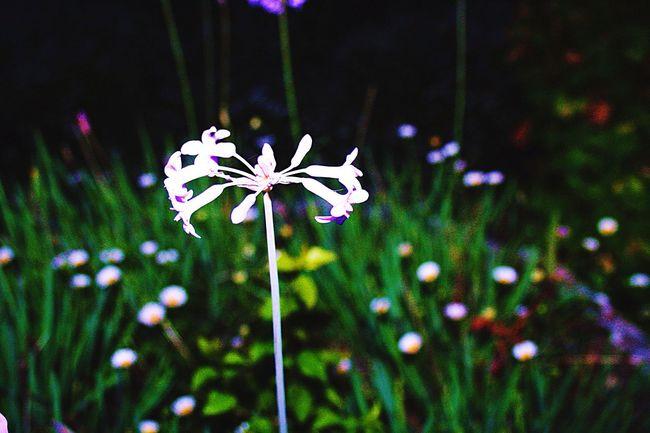 Lone Purple Flower Flower Single Flower Purple Garden