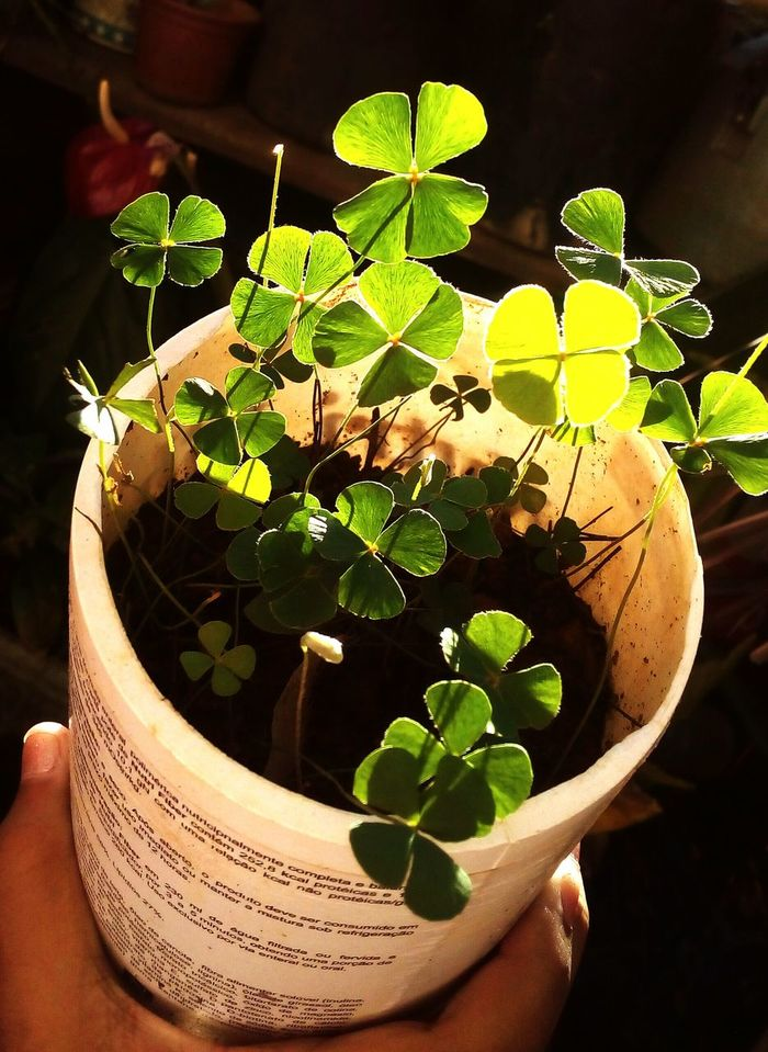 Four Leaf Clovers 🍀 Luck Nature Pretty♡ Nature Photography Nature_collection