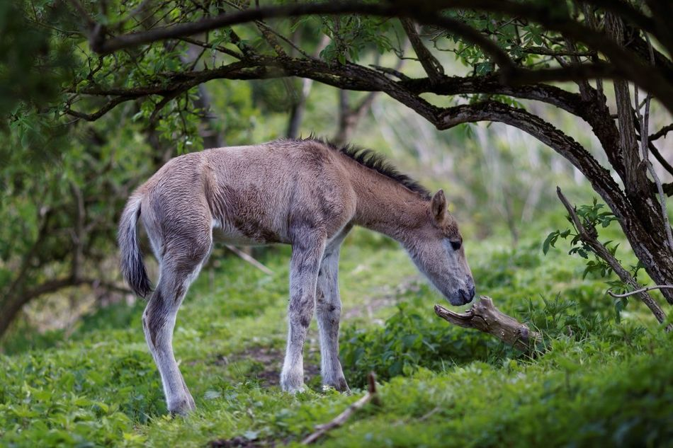 New Arrival Newly Born One Animal Nature Animals In The Wild Animal Wildlife No People Tree Grass Animal Themes Outdoors Day Full Length Mammal Horse Foal