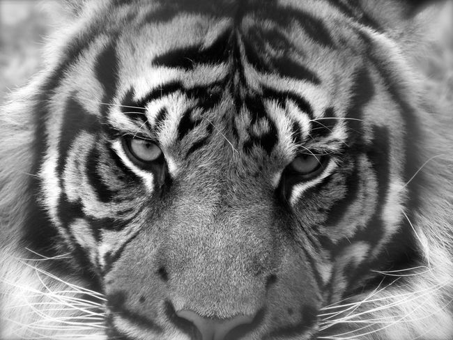 Tiger face to face Tiger Face Magic Moments Tiger Cat Cat Predator Predatory Capture The Moment Animals Posing Animals Tiger EyeEm Best Shots Eyeemphotography EyeEmBestPics EyeEm Gallery
