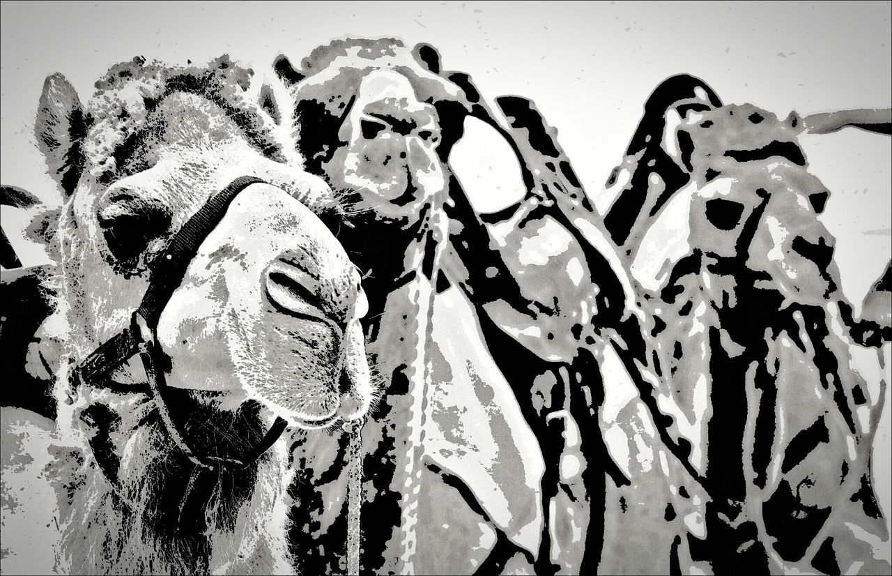 The Three Camels... Where are the Three Kings? ;)) NEM Black&white Camels We Love Camels! Black And White EyeEm Nature Lover Blackandwhite EyeEm Best Edits Eye4photography  EyeEm Best Shots Black And White Collection