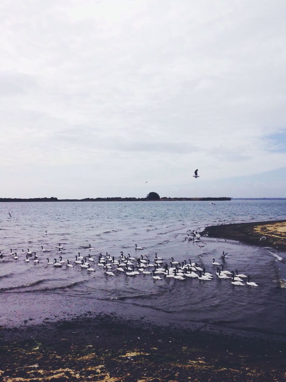 White Swan Black Swans Black And White Swans Sea Beach Animals Birds Landscape Seascape Nature Landscapes With WhiteWall