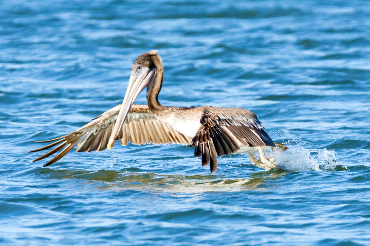 Brown Pelican Photo Series They were fishing and diving into the water and putting on quite a show! Animal Themes Animal Wildlife Animals In The Wild Bird Photography Bird Watching Birds In Flight Birds Of EyeEm  Birds_collection Birdwatching Blue Ocean Blue Sky Brown Pelicans Close Up Day Nature No People One Animal Outdoors Pelicans Catching Food Pelicans Diving Pelicans In Flight Photo Series Spread Wings Water Wildlife & Nature