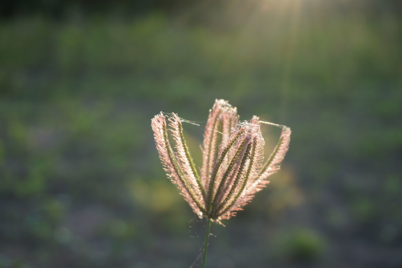 grass flower with sunlight Afternoon Beauty In Nature Bermuda Close Up Close-up Cynodon Dactylon Day Daytime Focus On Foreground Gramineae Grass Growth Marco Nature Nature No People Outdoors Plant Priceless Raw Image Raw Photography Sun Sunlight Wallpaper Web