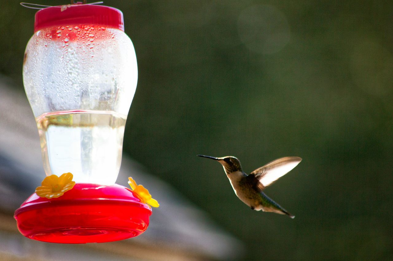 A visitor gri for breakfast. Taking Photos Check This Out EyeEm Nature Lover Nature Photography EyeEm Best Shots - Nature EyeEm Best Shots Eyeem Photography Nature On Your Doorstep Nature Nature_collection Nature_collection Humingbirds Wildlife & Nature Wildlife Photography Bird Photography Birds Of EyeEm  Birds In Flight Birds_collection Bird Watching Pasadena  Maryland