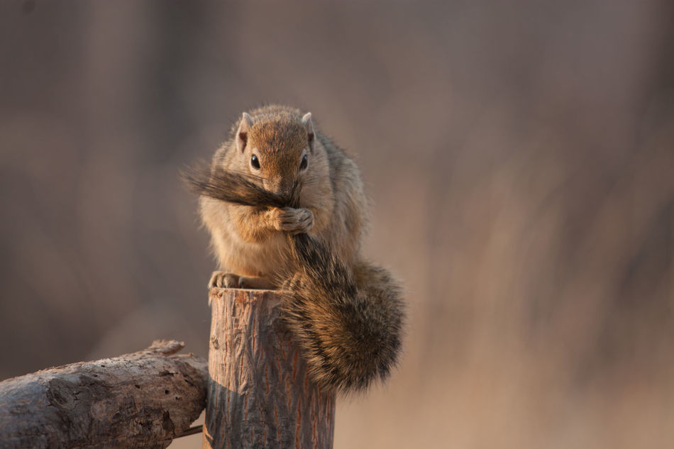 Beautiful stock photos of squirrel, Animal, Animal Themes, Day, Focus On Foreground