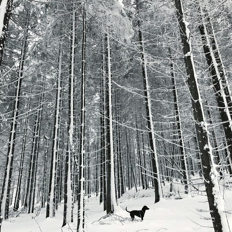 Small dog - big trees Snow Winter Cold Temperature Tree Landscape Forest Beauty In Nature No People Outdoors Scenics Nature Dog Feldberg Hessen Germany