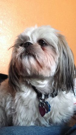 Mimis Animal Canine Close-up Cute Dog Dog Life Dog Love Dog Photo Dog Photographer Dog Photography Dog Pictures Dog Portrait DogLove Dogs Dogs Life Dogs Of EyeEm Dogslife Dog❤ No People Pets Portrait Shih Tzu Shih Tzu Love Shihtzu Shihtzulove