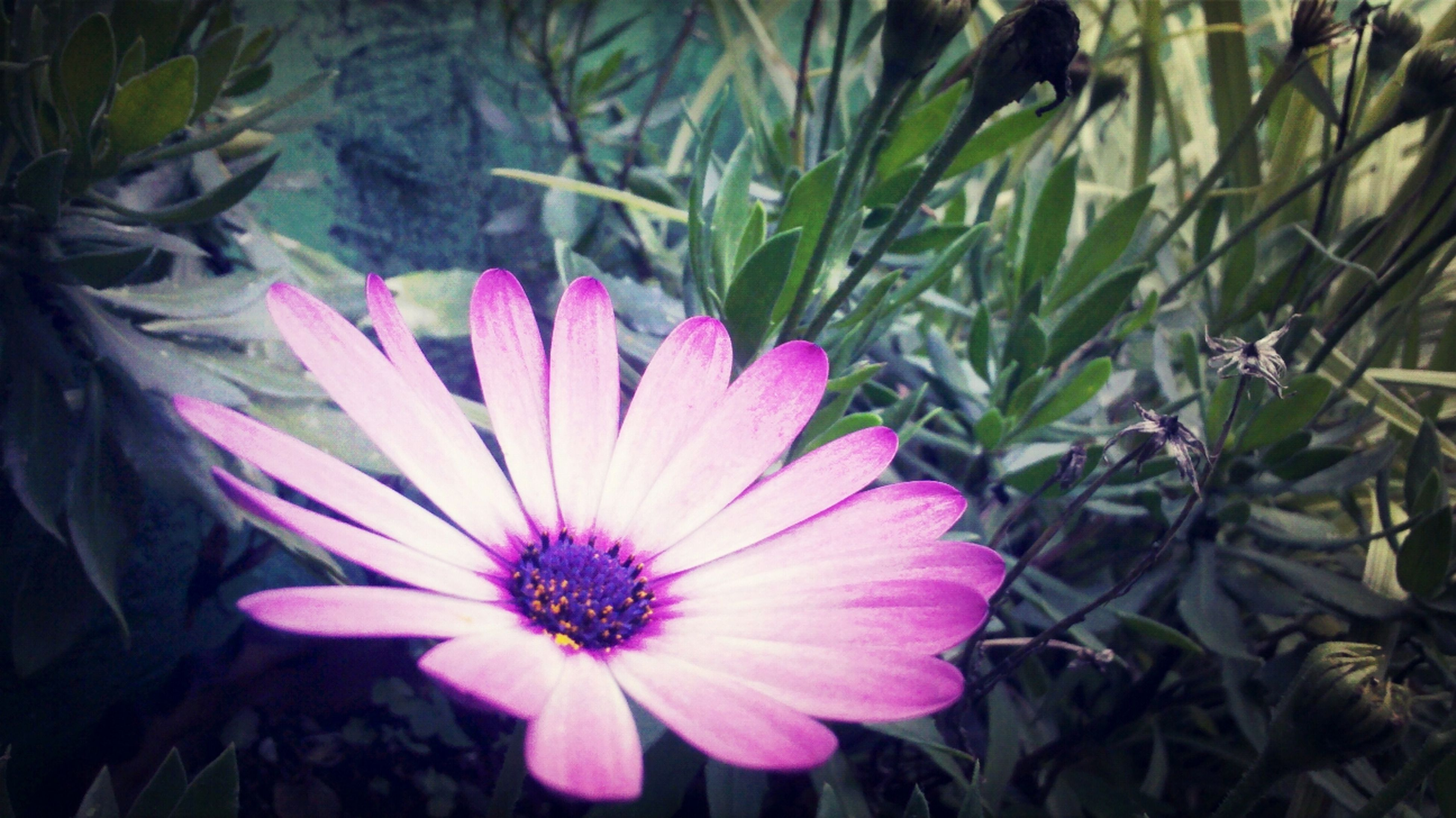 flower, petal, freshness, fragility, flower head, growth, beauty in nature, blooming, plant, nature, close-up, leaf, pink color, pollen, in bloom, focus on foreground, high angle view, day, outdoors, single flower