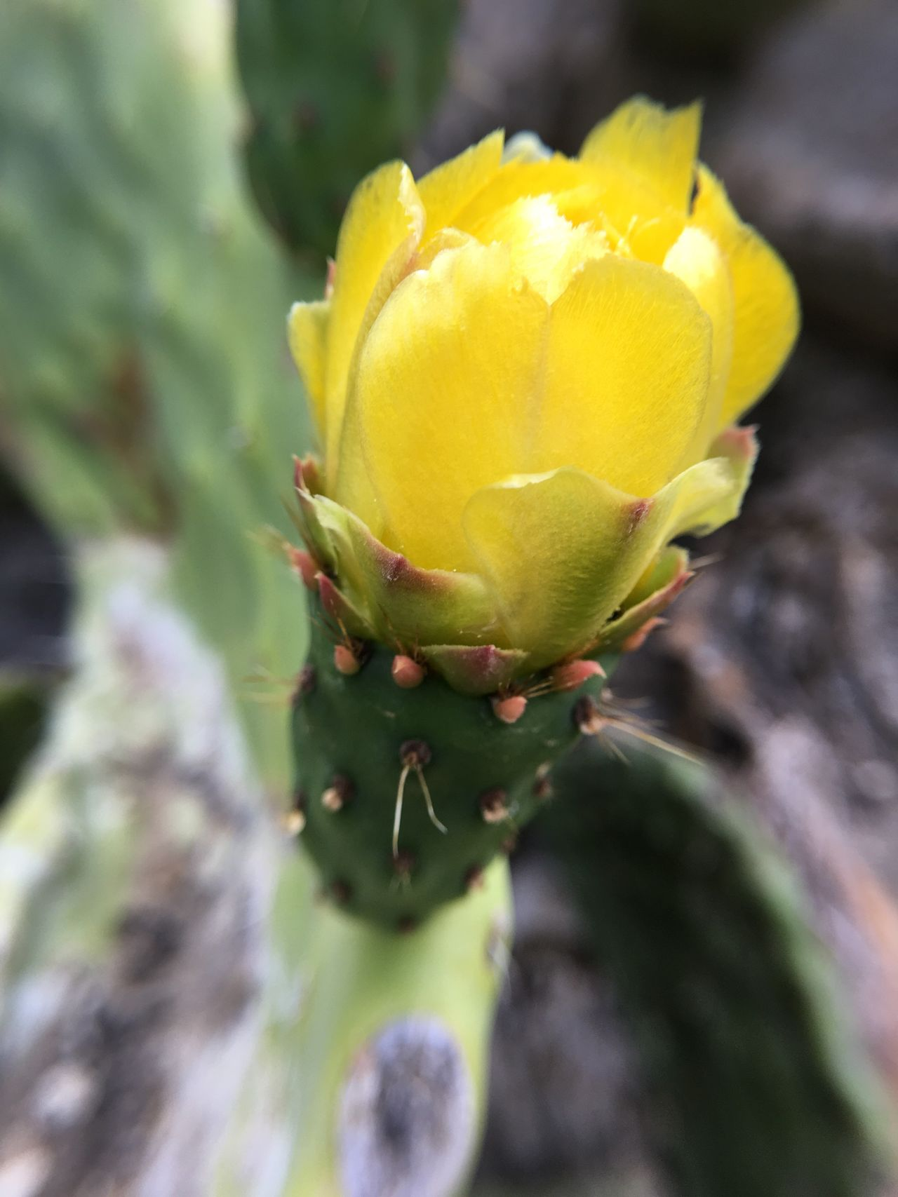Flower Nature Yellow Growth Beauty In Nature Freshness Fragility Close-up Plant No People Day Cactus Petal Outdoors Flower Head Green Color Prickly Pear Cactus Cactus Cactus Flower Blossom Yellow Flower Yellow Color Macro Southwest
