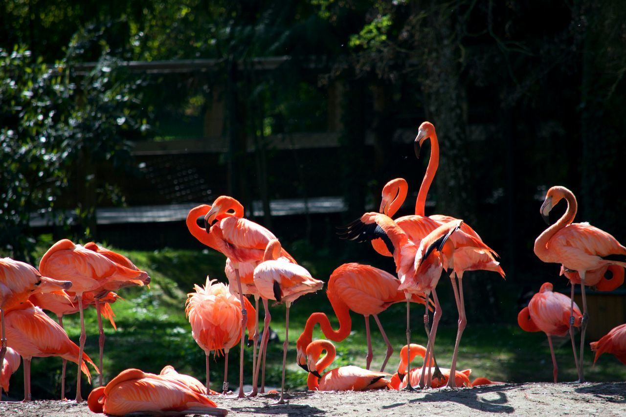 Flamingo Flamant Rose Bird Oiseaux Pink Color Nature Animal Wildlife No People Animal Themes Beauty In Nature Large Group Of Animals Zoo De Beauval Zoophotography Zoo à Beauval