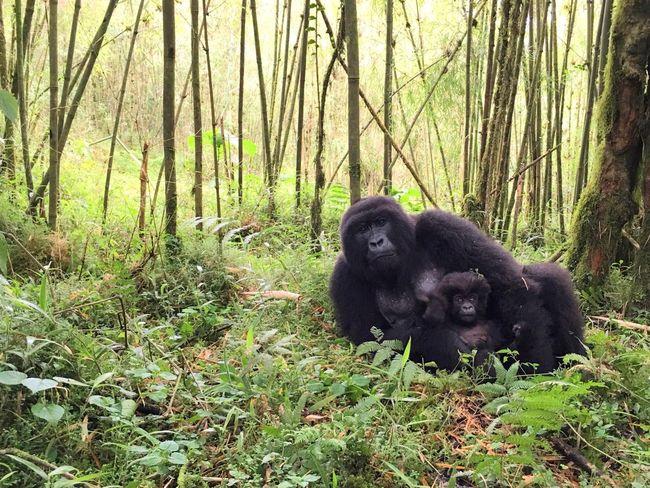 Two Is Better Than One Mountain Gorillas Forest Animal Themes Tranquil Scene Non-urban Scene Mammal Rainforest Gorillas Rwanda Volcanoes National Park Mountain Gorilla
