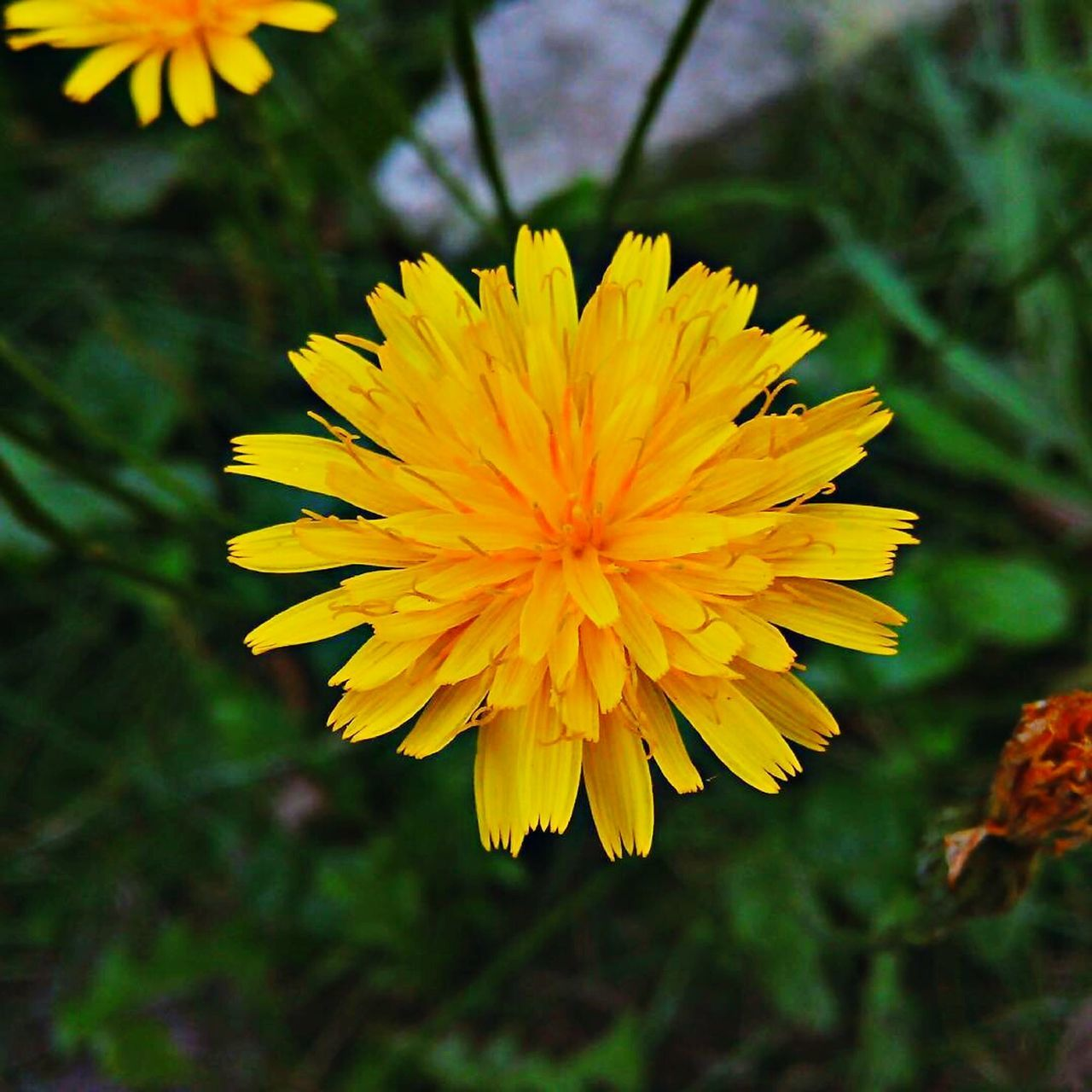flower, yellow, fragility, petal, beauty in nature, nature, freshness, flower head, growth, plant, close-up, focus on foreground, no people, outdoors, day, blooming, springtime