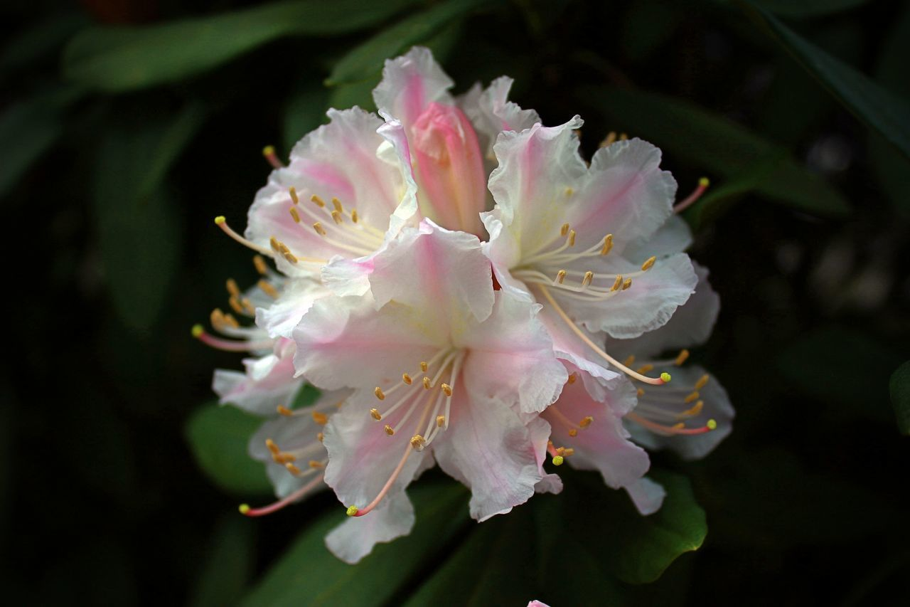 Beauty In Nature Blossom Blossom Flowers Blossoming  Blossoms  Close-up Day Flourish Flourishing Flower Flower Head Fragility Freshness Growth Nature Nature Nature_collection No People Outdoors Petal Pink Color Plant Rhododendron Spring Springtime