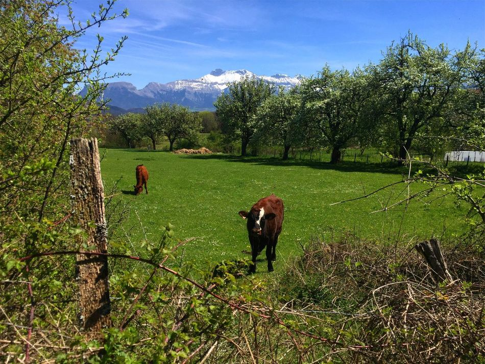 Road Roadside Picture Tree Sky Mammal Animal Themes Field Nature Mountains France Mountain View Alpes Beautiful Growth Day Grass Nature Green Color Outdoors No People Cloud - Sky Beauty In Nature One Animal Landscape