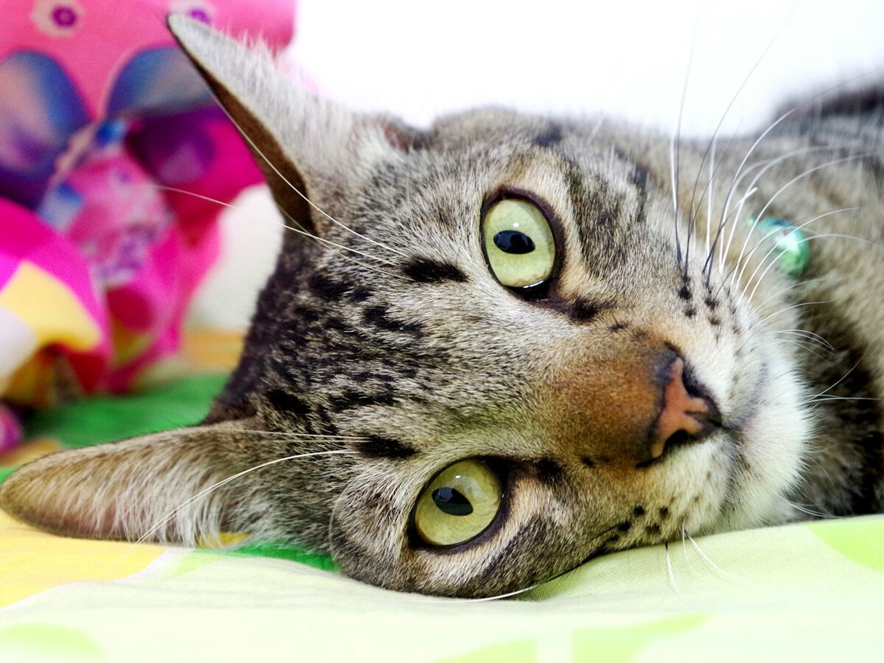 Pets Domestic Cat Domestic Animals One Animal Close-up Indoors  Animal Themes Portrait No People Ocicat Ocica Catface