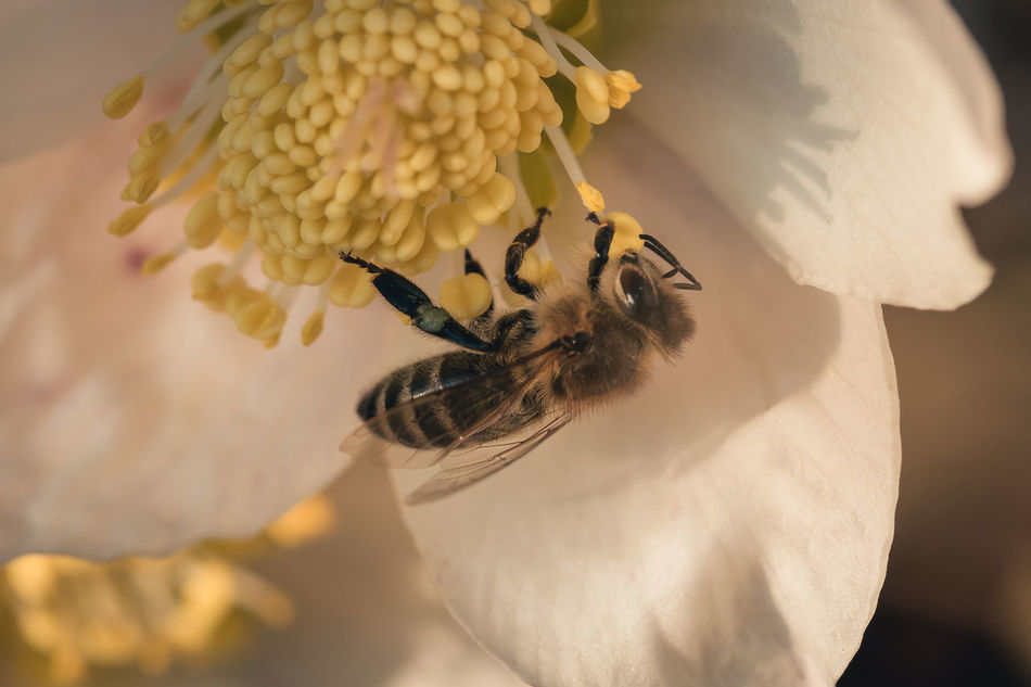 First bee in 2017. Animal Themes Animals In The Wild Beauty In Nature Bee Bee And Flower Christmas Rose Close-up Day Flower Flower Head Fragility Freshness Helleborus Niger Macro Nature No People One Animal Outdoors Petal White Flower