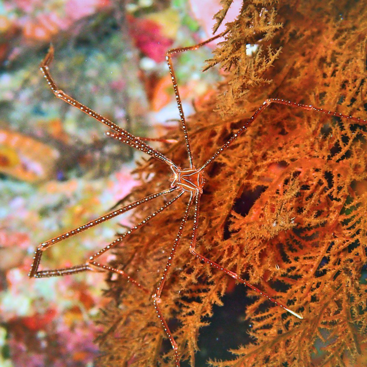 Close-up Diver Scuba Diving Sea And Sea Dive Macro Okinawa Ikelitehousing Underwaterphotography Canonphotography Ocean Diving Chirostylus Squat Lobster Padi OKINAWA, JAPAN Kerama Islands Kuroshima