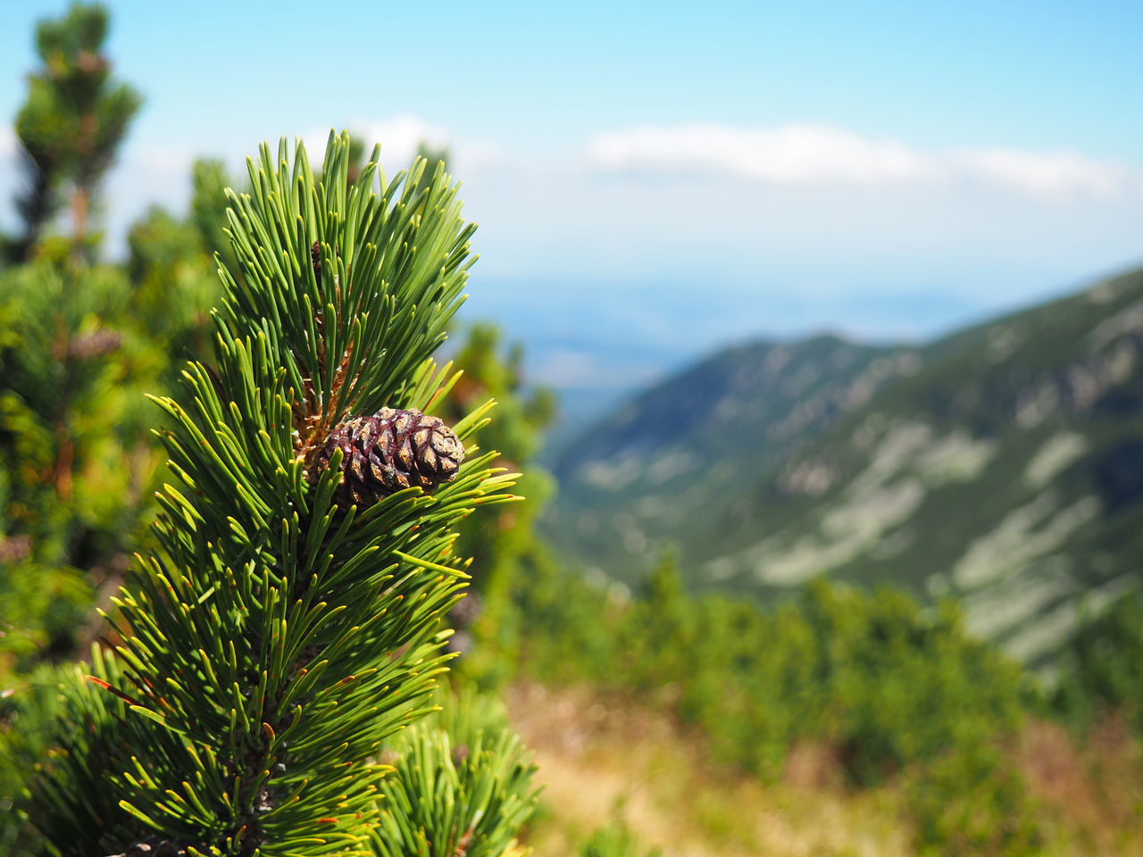 Rila Mountain, Bulgaria Beauty In Nature Bulgaria Bulgarian Nature Close-up Day Focus On Foreground Green Green Color Growth Hiking Mountain Nature No People Outdoors Pine Pine Tree Plant Rila Mountain Scenics Sky Summer Summer Views Tranquility