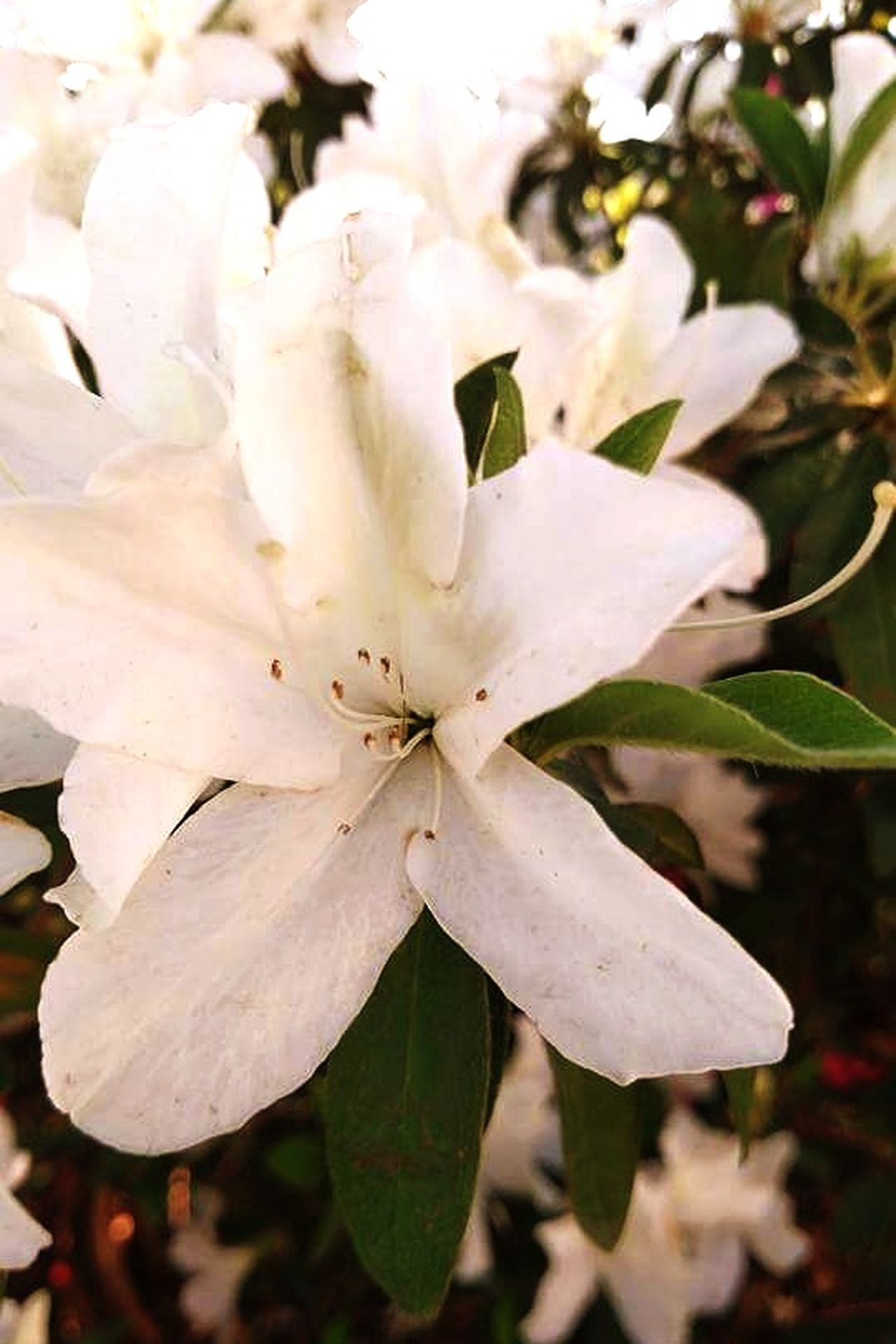 Nature Growth Beauty In Nature Plant Close-up Outdoors Tranquility Freshness Flower No People Flower Head Day Fragility Texas EyeEmNewHere Garden Photography Gardenia Water