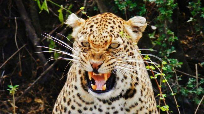 Africa Kenya Masai Mara Safari Wildlife Nature Animals In The Wild Leopard Attacktheshot Distance Of The Photographer Shiversgoingdownmyspine Original Photography 43 Golden Moments