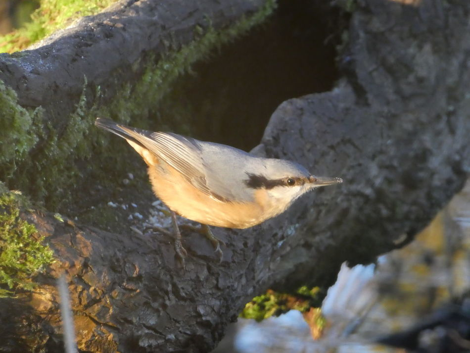 The light from the setting sun fell upon the nuthatch... Bird Nuthatch Tiny Bird Beautiful Light Sunset Golden Hour Coloured Feathers Grey And Peach Colours Animals In The Wild Animal Themes Nature Outdoors No People Light And Shade No Filter, No Edit, Just Photography Nature Reserve Fallen Tree Moss Woodland Sun EyeEm Nature Lover Natural Beauty Tranquility Simple Quiet Love Fragility Simple Beauty
