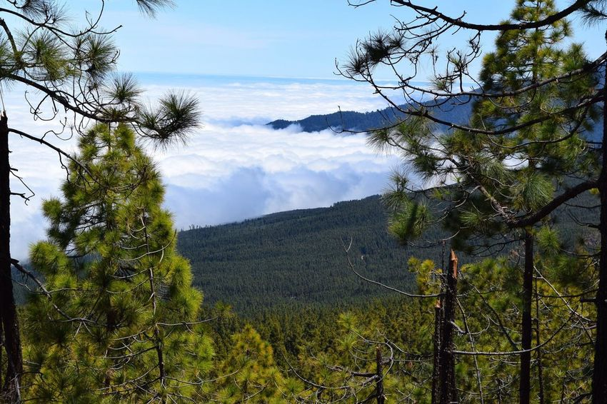 Tree Nature Pinaceae Pine Tree Sky Pine Woodland Beauty In Nature Growth Mountain Outdoors Landscape No People Scenics Tranquility Branch Lush - Description Day Over The Clouds Teide National Park Tenerife Cloud - Sky Travel Destinations Single Tree Tranquility Idyllic