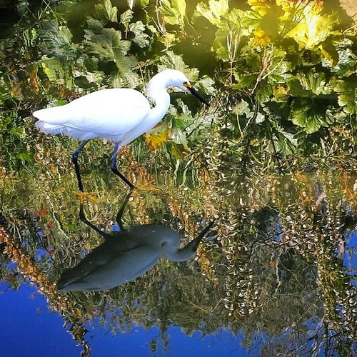Two birds! GreatEgret Bird Whitebird LongLegs nature walkingonwater water reflections mirrorimage Samsung GalaxyS4 mylunchbrake SantaMonica California CA