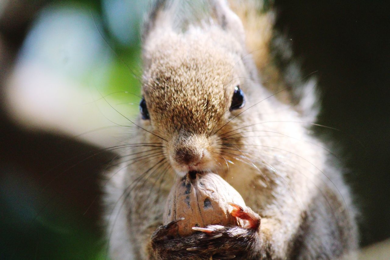 Beautiful stock photos of squirrel, Animal Head, Animal Themes, Animals In The Wild, Close-up