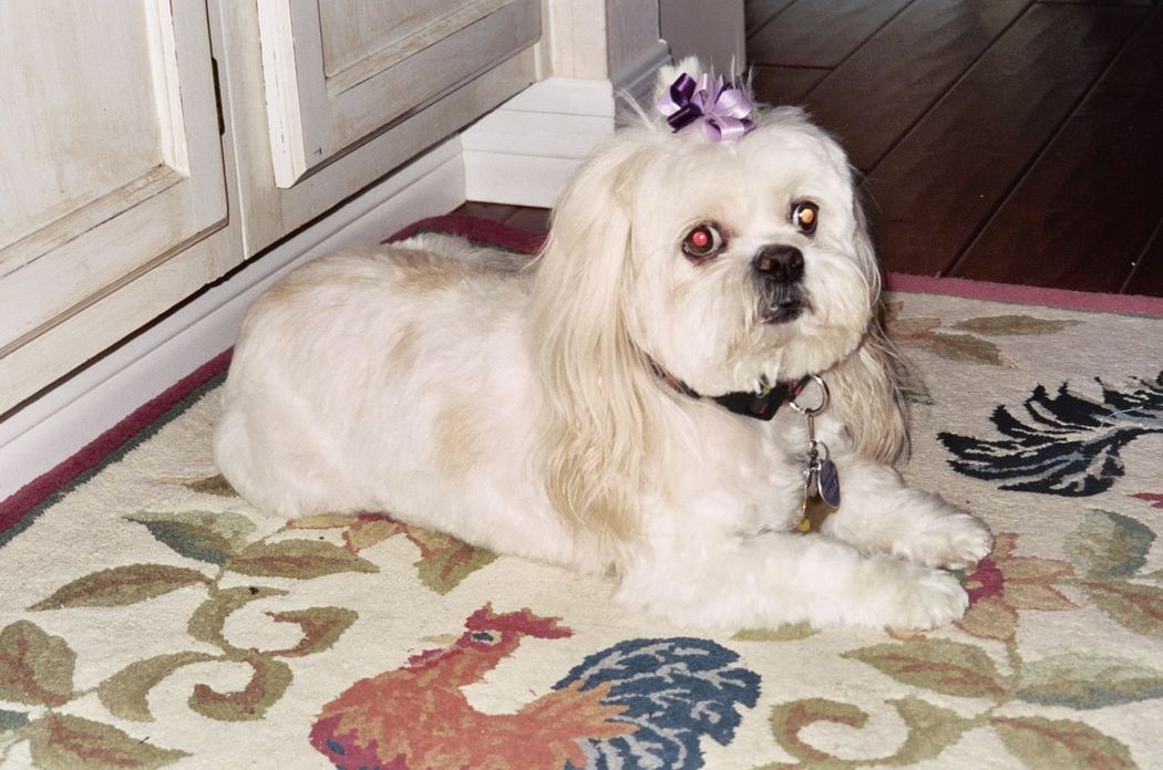 Kimber the Lhasa apso with quilt Animal Themes Close-up Curious Curious Dog Day Devotion Dog Domestic Animals Faith Groomed Homespun Indoors  Looking At Camera Love ♥ Mammal No People One Animal Pet Clothing Pets Portrait Quilts