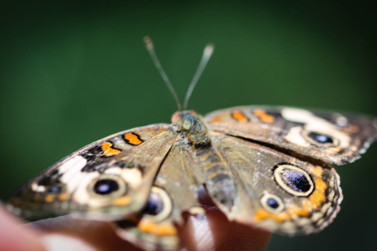 A colorful Common Buckeye Junonia Coenia butterfly. Animal Animal Themes Animal Wildlife Animals In The Wild Animals In The Wild Beauty In Nature Buckeye Butterfly Butterfly - Insect Butterfly ❤ Close-up Common Fragility Insect Junonia Macro Nature No People One Animal Outdoors Perching Spotted Wild Wildlife